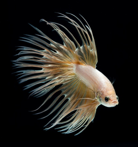 Файл:Crowntail Betta cream.jpg