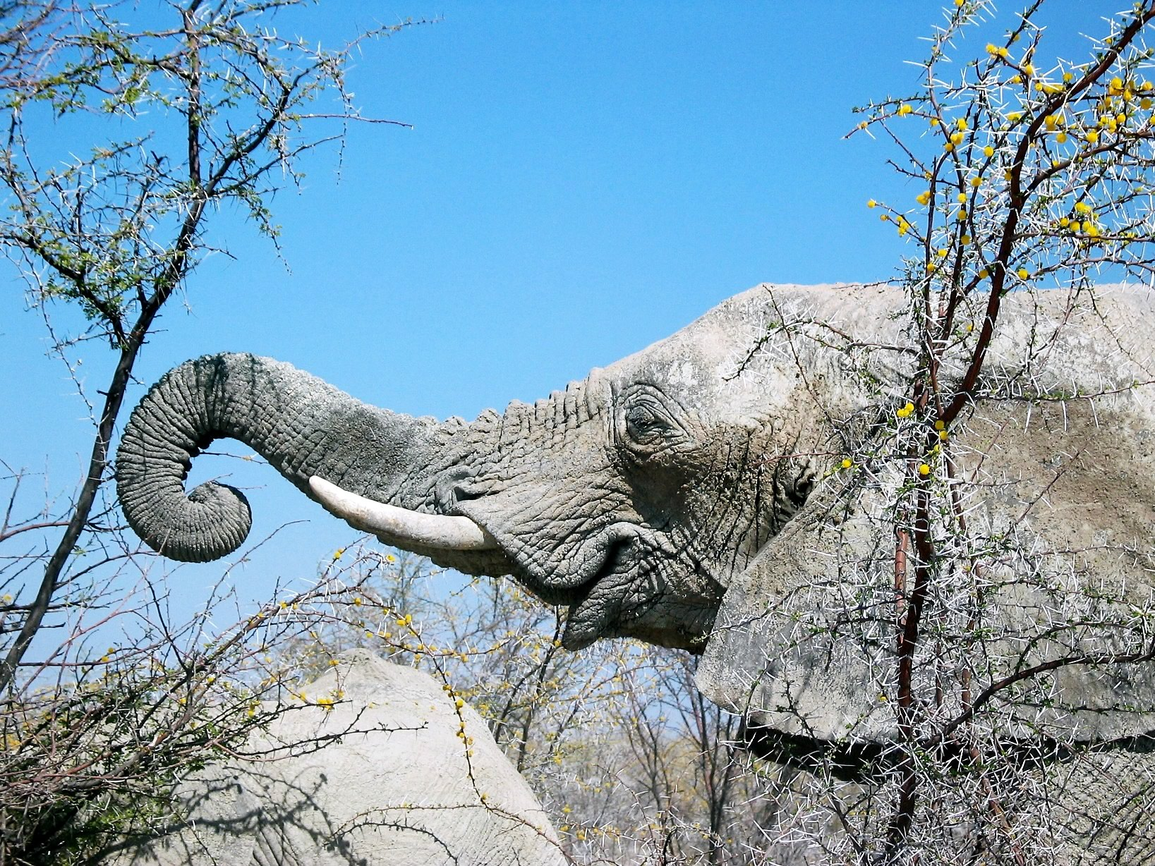 сделать серое дерево африки википедия читайте, делитесь!Картинки девушек