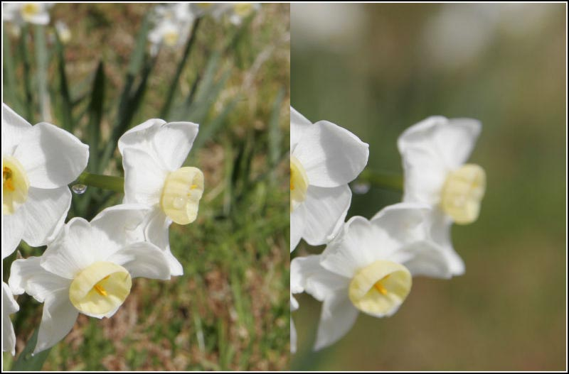 Файл:Jonquil flowers at f32, f5.jpg