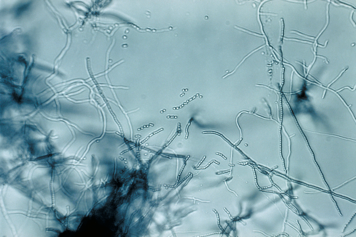 Файл:Streptomyces sp 01.png