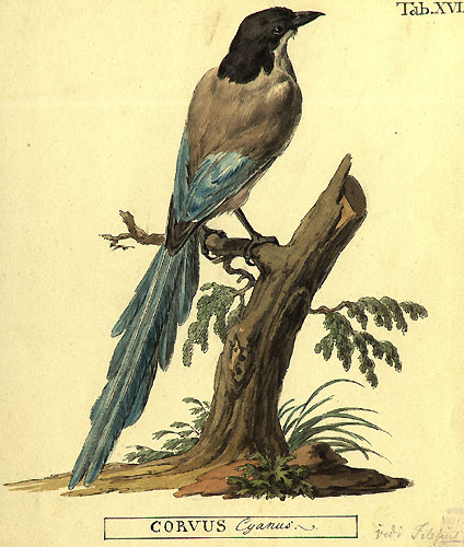 Файл:Cyanopica cyanus by Peter Simon Pallas.jpg