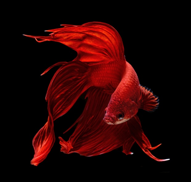 Файл:Veiltail betta red.jpg
