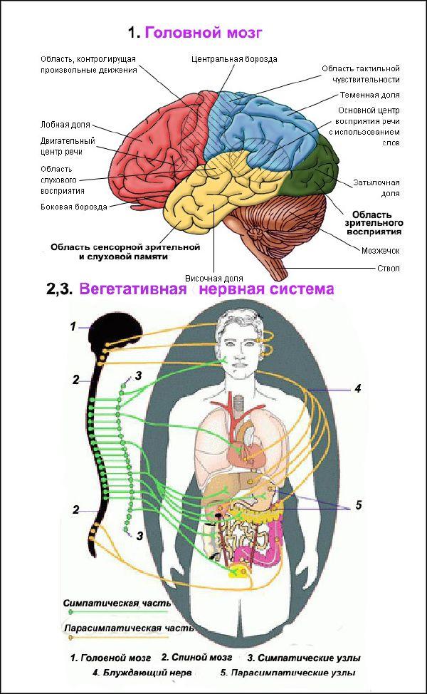 Шпаргалки вегетативная нервная система анатомия скачать