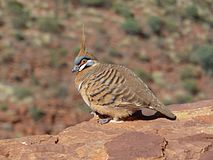 Spinifex Pigeon - Kings Canyon.jpg