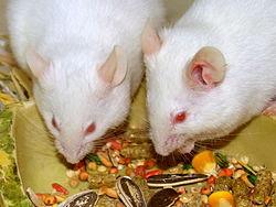 Как выглядит новорожднная мышь