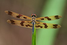 Rhyothemis graphiptera - Graphic Flutterer (1).jpg