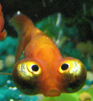 Celestial eye goldfish.jpg