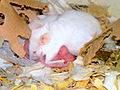 White lab mouse in open nest.JPG
