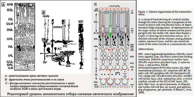 Фиг.R. Структура сетчатки