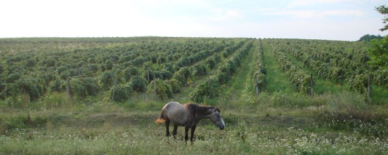 Файл:Horse near vineyard.jpg