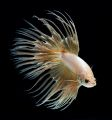 Crowntail Betta cream.jpg
