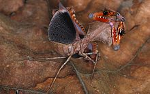 Malaysian Dead Leaf Mantis (Deroplatys lobata) threat display (8738000645).jpg