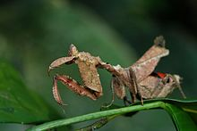 Flickr - ggallice - Praying mantis (1).jpg