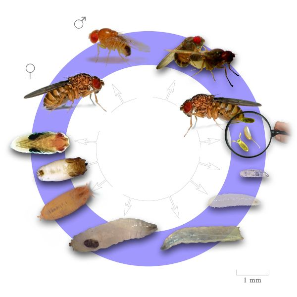 Файл:Fruit fly life cycle.jpg