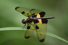 Rhyothemis phyllis - Yellow-striped Flutterer (1).jpg