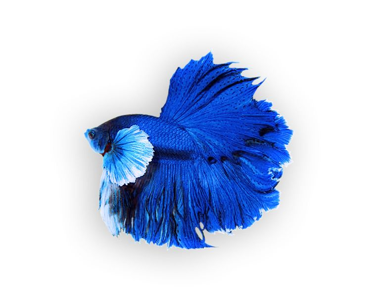 Файл:Betta Dumbo blue.jpg