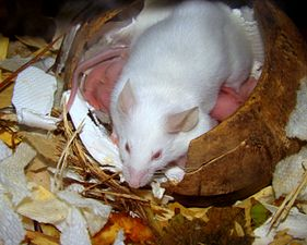 White lab mouse in nest.JPG