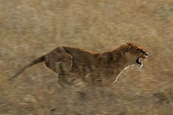 Serengeti Lion Running saturated.jpg