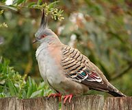 Australian Top Notch Pigeon (322998579).jpg