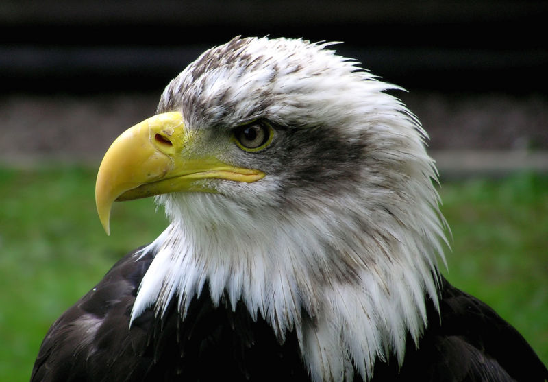 Файл:Bald.eagle.closeup.arp-sh.750pix.jpg