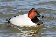 Canvasback (male) - Aythya valisineria, Cambridge, Maryland.jpg