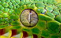 Emerald tree boa eye.JPG