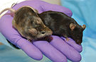 Knockout Mice5006-300.jpg