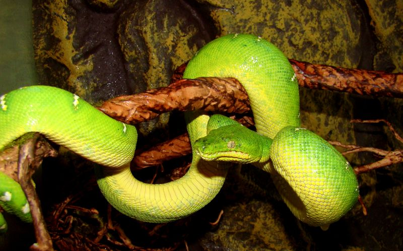 Файл:Emerald tree boa on.JPG